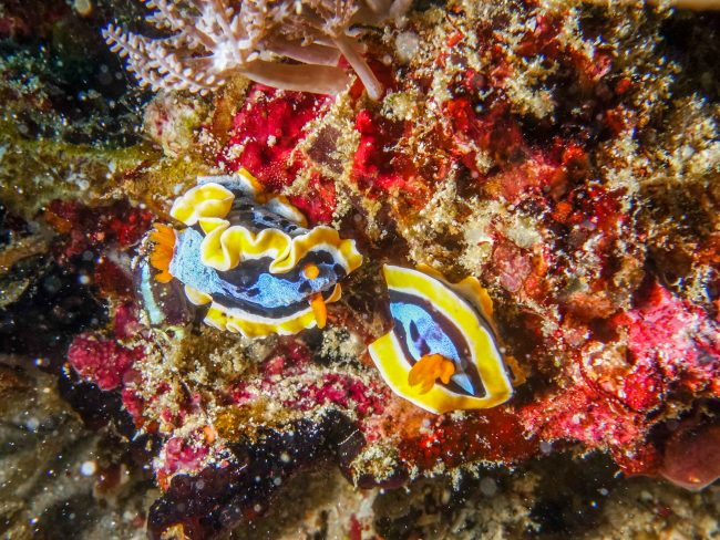 nudibranches-mauan-en-indochine