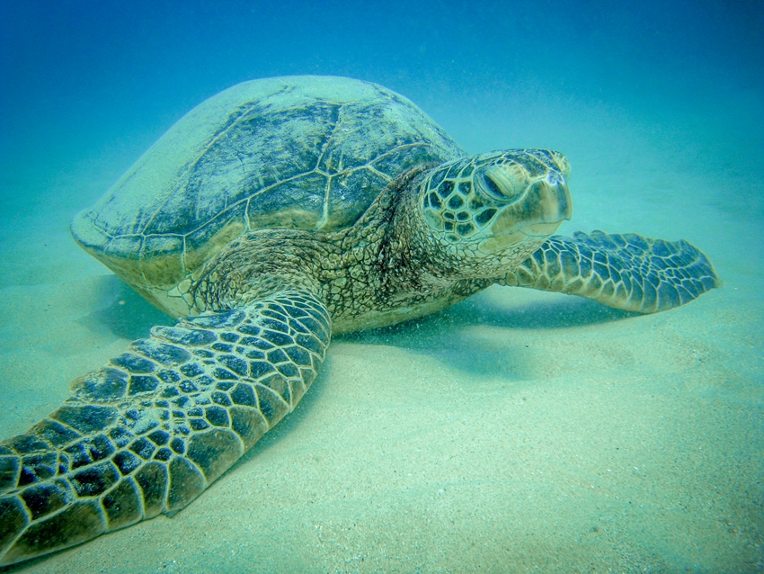 tortue-marine-a-hawai-north-shore
