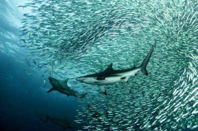 Requins-Sardine-Run-en-Afrique-du-Sud.jpg