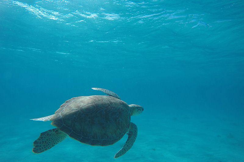 Nager avec les tortues Martinique